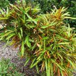 Croton 2