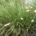 Native Iris 2