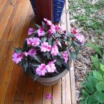 New Guinea Impatiens 2