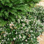 Trachelospermum Tricolour 2